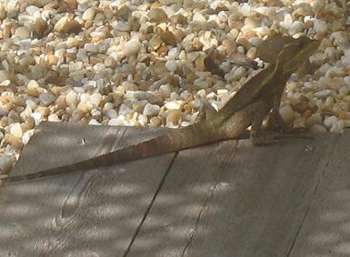 Iguana Invasion - Exotic Pets Gone Wild in Florida - Iguanas