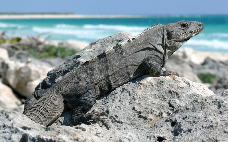 Black Spinytail Iguana