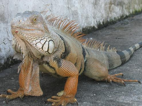 Common Green Iguana